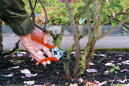 Pruning a shrub rose.