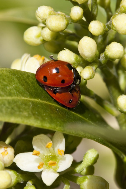 Ladybirds / RHS Gardening