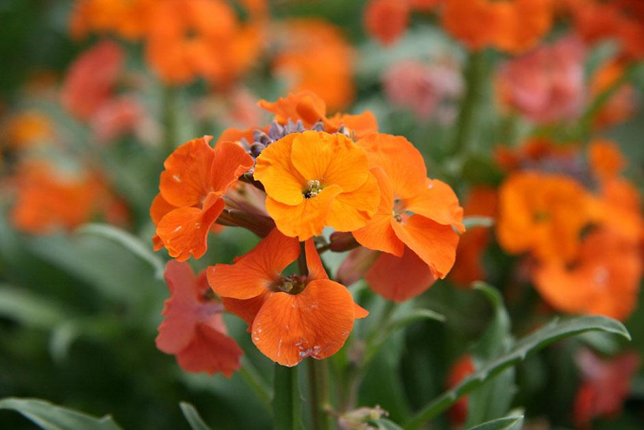 Spring Is On The Way - Page 5 Wallflower_RHS_WSYD0000494_940x627.jpg?width=940&height=627&ext=