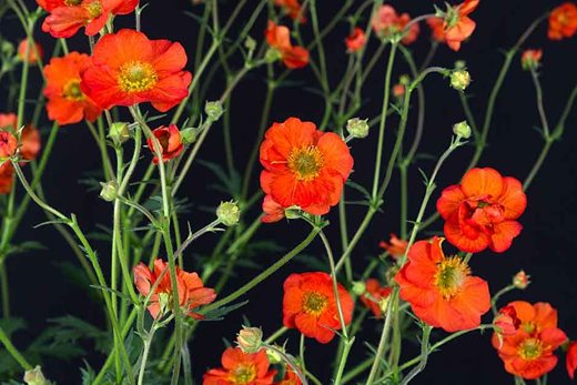 2nd place  Geum 'Scarlet Tempest'