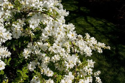 Exochorda × macrantha 'The Bride'