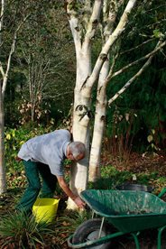 Roger cleaning the birch trunks