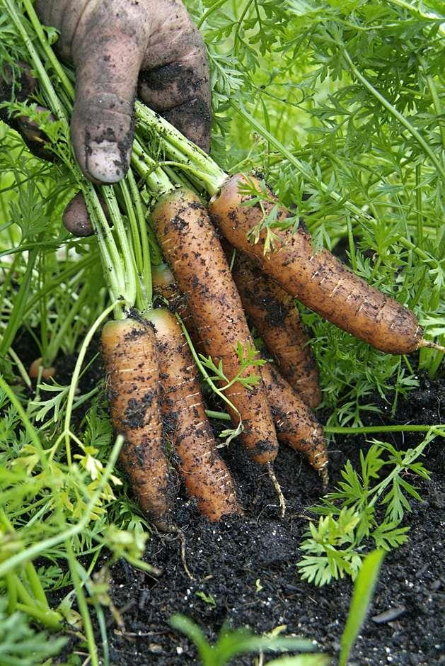 RHS Grow Your Own - Carrots