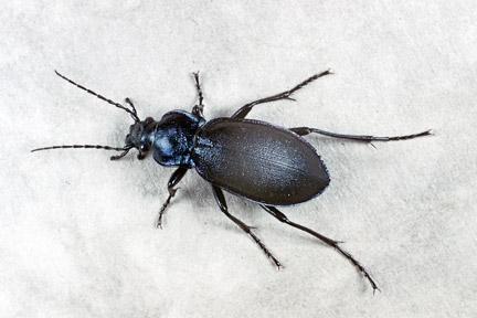 Ground beetles and rove beetles / RHS Gardening