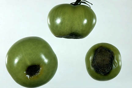 Blossom end rot of tomato fruit. Credit:RHS/Pathology.