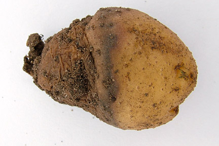 Black leg (Pectobacterium atrosepticum) on potato 'Charlotte'. Credit: RHS/Pathology.