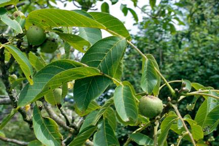 Walnuts / RHS Gardening