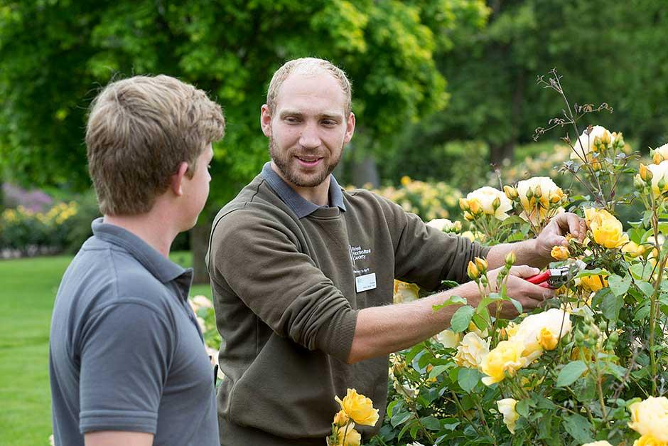 rose pruning instruction
