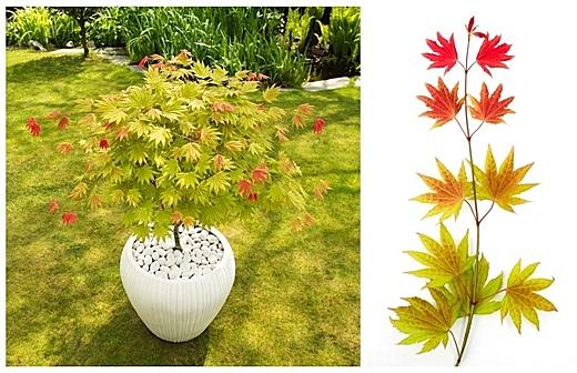 Acer shirasawanum Moonrise ('Munn001')