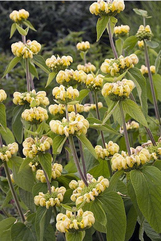 Discover ten of the hardiest hardy perennials for your garden rhs dicentra bleeding heart jerusalem sage mightylinksfo