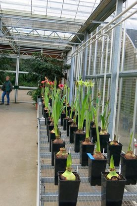 The Hippeastrum trial beginning to flower in the glasshouse corridor at RHS Garden Wisley