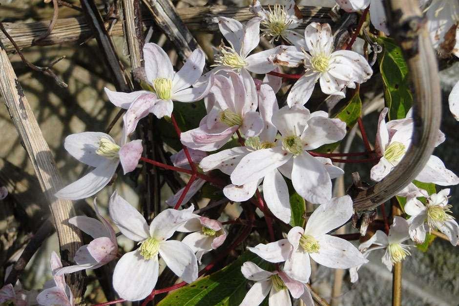 Rhs gardening 10 of the best spring flowering clematis rhs gardening all about clematis mightylinksfo