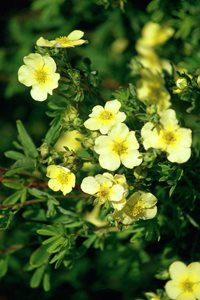 Potentilla fruticosa 'William Purdom'