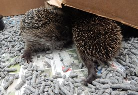Young hedgehogs moving their cardboard shelter
