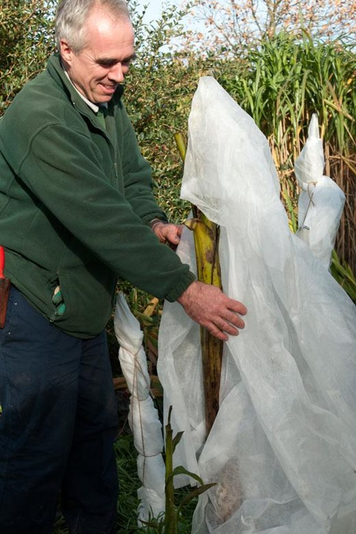 Click to enlarge: wrapping the stems with horticultural fleece