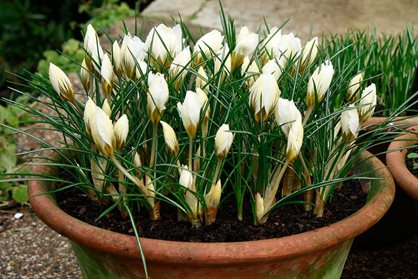 Crocus chrysanthus 'Snow Bunting' looks tremendous as a container plant