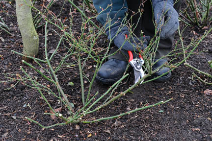 Pruning a ground cover rose.