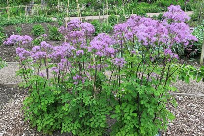 Rhs plant trials blog a travelling trials officer rhs for Thalictrum rochebrunianum rhs