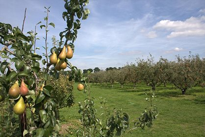Pears in the orchard at RHS Garden Wisley