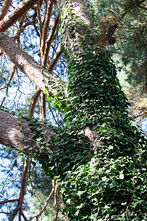 Ivy spreading  up tree trunk.