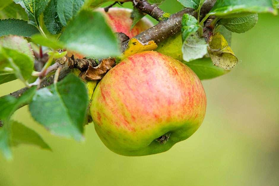 How To Grow Apples Rhs Advice Rhs Gardening