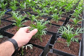 Well-rooted argyranthemum cuttings, ready to be potted on
