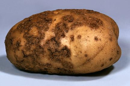 Potato scabs / RHS Gardening