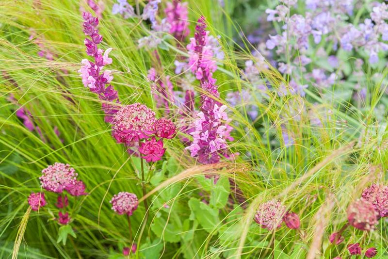 Salvia 'Rose Queen' with grasses, nepeta and astrantia