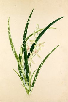 Watercolour of Cymbidium ensifolium from the 19th century album Plantae Icones Japonicae