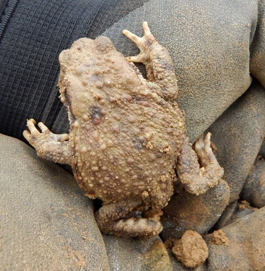 Toads in the garden are also a good sign
