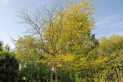 Robinia Psuedoacacia Frisia With Unknown Back Problems