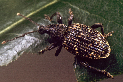 An adult wine weevil feeding on a rhododendron