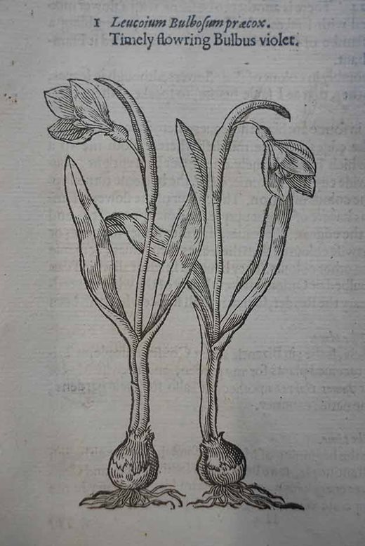 Snowdrop illustration from Gerard's 'Herball'