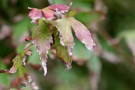Acer: leaf scorch / RHS Gardening