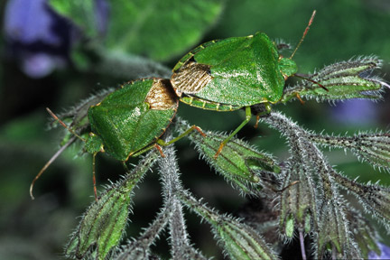 Green shield bugs / RHS Gardening
