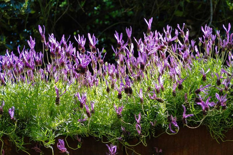 Rhs Gardening Grow A Flowering Hedge Rhs Gardening