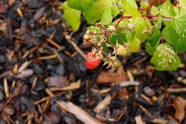Raspberries grow well in forest gardens