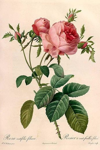 Rosa centifolia foliacea, engraved plated from Pierre-Joseph Redouté's Les Roses, 1819-1824