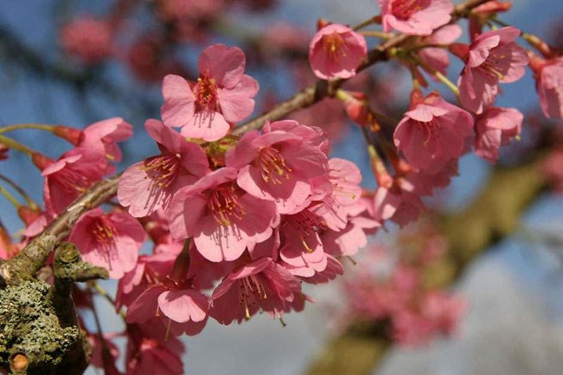 Cherry trees suitable for small gardens rhs gardening for Small trees suitable for small gardens