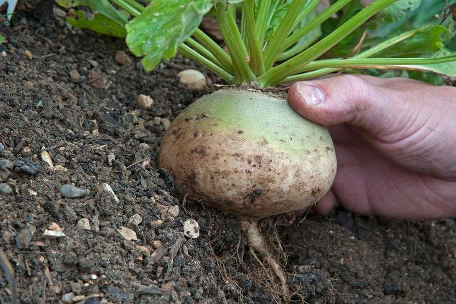 RHS Grow Your Own - Turnips