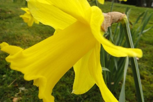 Narcissus 'King Alfred'