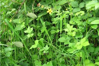 Identify common weeds rhs gardening herb bennet mightylinksfo
