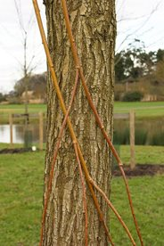 The interesting yellow/golden bending stems and brown corky bark of Salix alba 'Tristis'