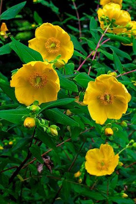 Hypericum 'Rowallane' - photo by Matt Pringle