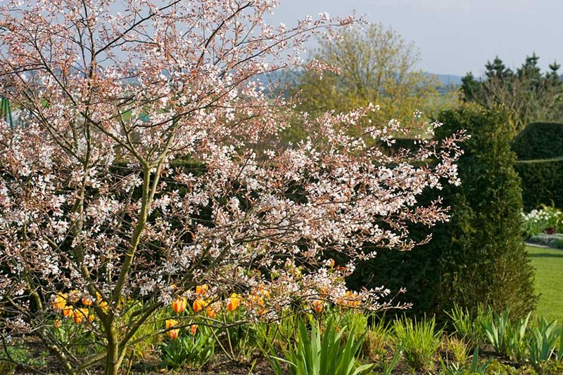 Top 10 flowering trees for small gardens / RHS Gardening