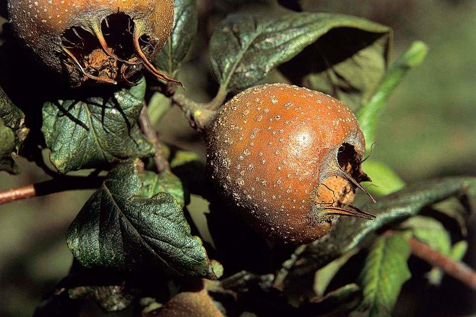 RHS  Grow Your Own - Medlar