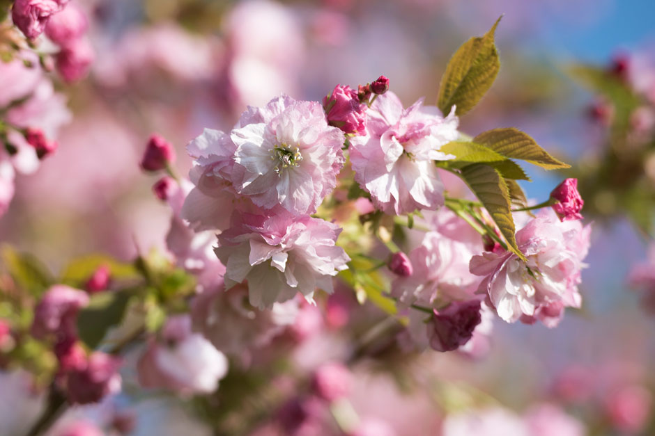 Cherry Trees Perfect For Small Gardens Rhs Gardening