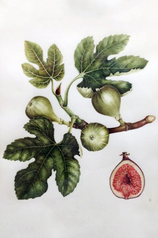 'Fig' by Sarah Gould