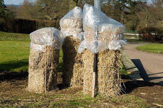 tender shrub winter protection