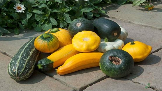 A collection of Cucurbita pepos (marrows)